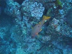 Onespot seaperch hovering, Lutjanus monostigma, UP1443 Stock Footage