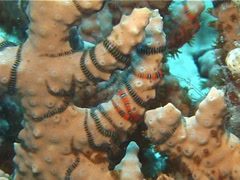 Fine band brittle stars, Ophiothela dana, UP14477 Stock Footage