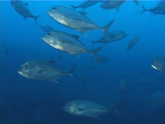 Fish   Trevallies   Bigeye Trevally   Medium Shot Stock Footage