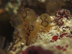 Purple rim clear sea squirt, Clavelina sp. Video 14508. Stock Footage