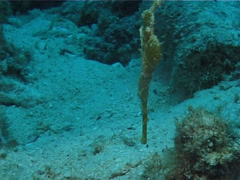 Unidentified green ghost pipefish hovering, Solenostomus sp. Video 1452. Stock Footage