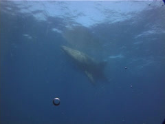 Whale shark swimming, Rhincodon typus, UP14520 Stock Footage