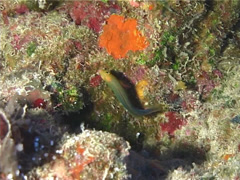 Wass' dottyback swimming, Pseudoplesiops wassi, UP14524 Stock Footage