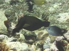 Broom filefish swimming, Amanses scopas, UP14529 Stock Footage