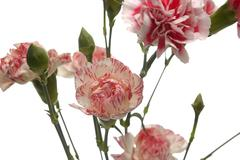 Tribute of carnations Stock Photos