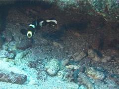 Intermediate Oriental sweetip swimming, Plectorhinchus vittatus, UP14537 Stock Footage
