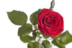 Red rose macro Stock Photos