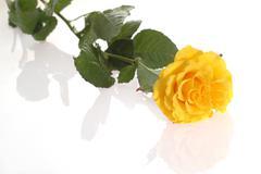 Yellow rose close up Stock Photos