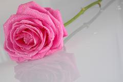 Pink rose with water drops Stock Photos