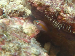 Bubble coral shrimp walking, Vir philippinensis, UP1458 Stock Footage