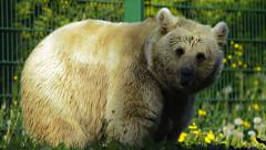Polar bear mother and baby - stock footage