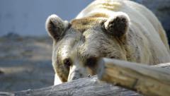 Polar bear looking at camera Stock Footage