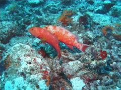 Orange spotted purple sea star at night, Fromia elegans, UP1466 Stock Footage