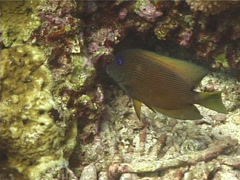 Orange spotted purple sea star at night, Fromia elegans, UP1467 Stock Footage