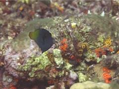 Blackbar filefish swimming, Pervagor janthinosoma, UP14708 - stock footage