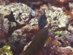 Blackbar filefish swimming, Pervagor janthinosoma, UP14709 Stock Footage