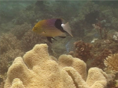 Blackfin hogfish swimming, Bodianus loxozonus, UP14789 Stock Footage