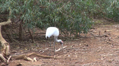 Brolga (Grus rubicunda) tear up the ground while looking for food Stock Footage