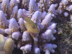 Ringeye hawkfish, Paracirrhites arcatus, UP14866 Stock Footage
