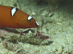 Decorator crab walking at night, Cyclocoeloma tuberculata, UP1488 Stock Footage