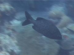 Grey sea chub swimming, Kyphosus bigibbus, UP14894 Stock Footage