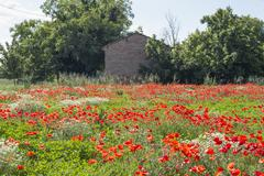 red poppies fields - stock photo