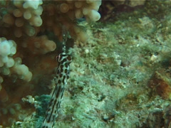 Schultz's pipefish swimming, Corythoichthys schultzi, UP14906 Stock Footage