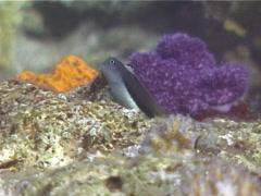 Bicolor coralblenny, Ecsenius bicolor, UP14909 Stock Footage
