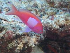 Squarespot anthias swimming, Pseudanthias pleurotaenia, UP1493 Stock Footage
