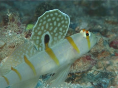 Randalls shrimpgoby hovering, Amblyeleotris randalli, UP1497 Stock Footage