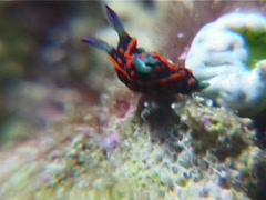 Red spot blue gill black slug, Nembrotha guttata, UP14985 Stock Footage