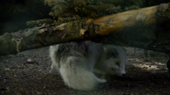 Arctic fox looks at camera Stock Footage