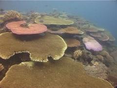Hellsfire anemone, Actindendron plumosum, UP1504 Stock Footage