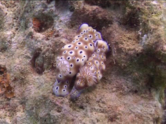 Leopard head flapper slug, Risbecia tryoni, UP15098 Stock Footage