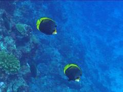 Black butterflyfish swimming, Chaetodon flavirostris, UP15107 Stock Footage