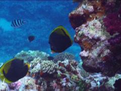 Black butterflyfish swimming, Chaetodon flavirostris, UP15108 Stock Footage
