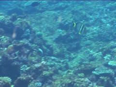 Whitespotted surgeonfish swimming, Acanthurus guttatus, UP15112 Stock Footage