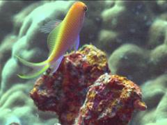 Hawk anthias swimming, Serranocirrhitus latus, UP15119 Stock Footage