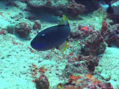 Giant moray gaping in fish feeding arena, Gymnothorax javanicus, UP1513 Stock Footage