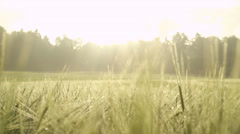 Green wheat covered with morning dew at sunrise Stock Footage