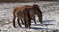 Przewalski-Horses HD Footage