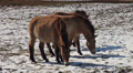 Przewalski-Horses Footage