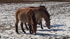 Przewalski-Horses Stock Footage