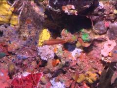 Striped anthias swimming, Pseudanthias fasciatus, UP15150 Stock Footage