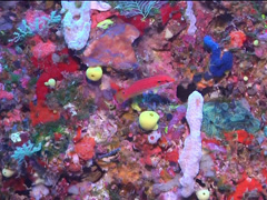 Twospot hogfish swimming, Bodianus bimaculatus, UP15154 Stock Footage