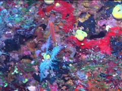 Twospot hogfish swimming, Bodianus bimaculatus, UP15155 Stock Footage