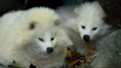 Arctic fox - polar foxes- mother and baby Stock Footage