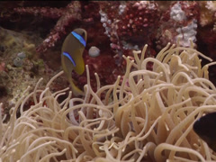 Orangefin anemonefish swimming, Amphiprion chrysopterus, UP15162 Stock Footage