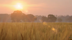 Farming Agriculture Golden Wheat Field Summer Sunshine Stock Footage