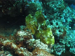 Leaf scorpionfish, Taenianotus triacanthus, UP1583 Stock Footage